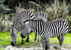 Zebras at the zoo Stock Photography