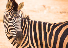 Zebras in zoo Stock Image