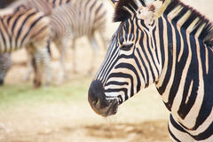 Zebras in zoo Stock Photos