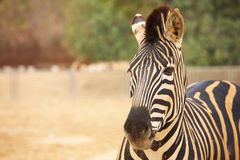 Zebras in zoo Royalty Free Stock Image