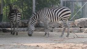 Zebras in zoo. Two african zebras in zoo chew and shake their heads stock video footage