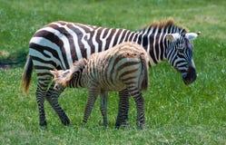 Zebras, Zoon & Mamma stock foto