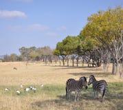 Zebras in Zuid-Afrika Stock Foto