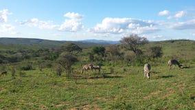 Zebras in zuiden africn savanne Stock Afbeeldingen