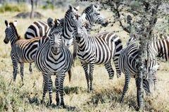Zebras zusammen in Serengeti, Tansania Lizenzfreie Stockfotografie