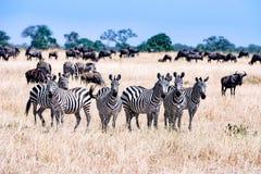 Zebras zusammen in Serengeti, Tansania Afrika, Gruppe Zebras zwischen Gnus lizenzfreies stockbild
