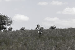 Zebras Zwart Wit Royalty-vrije Stock Afbeeldingen