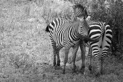 Zebras Zwart-wit Geknuffel. Stock Afbeeldingen