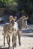 Zebras zwei Lizenzfreies Stockbild