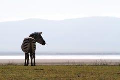 Zebraschattenbild Lizenzfreies Stockbild