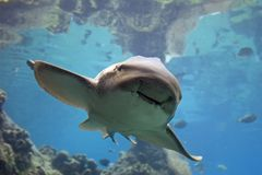 Zebrashark fotos de stock royalty free