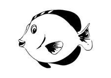 Zebrasoma鱼上色黑在白色 库存照片
