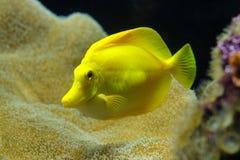 Zebrasoma è un genere dei surgeonfishes indigeni all'indiano ed agli oceani Pacifici Hanno corpi a forma di disco immagine stock