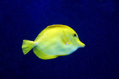 Zebrasoma黄色在水族馆的特性鱼 库存图片