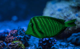 Zebrasoma desjardini, Sailfin特性 礁石坦克海军陆战队员水族馆 充分蓝色水族馆植物 库存图片