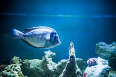 Zebrasoma desjardinii,  fish  swimming in the ocean, against a background. Of corals royalty free stock photo