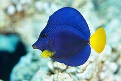Zebrasoma-Fische unter Wasser Stockfotos