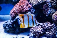 Zebrasoma fish sailing Zebrasoma desjardini stock photography