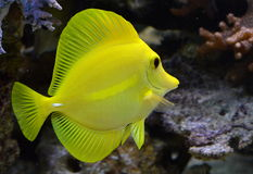 Zebrasoma. Flavcens in a coral reef Stock Image