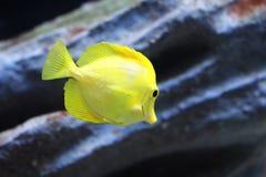 Zebrasoma flavescens Stock Photo
