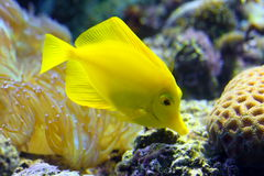 Zebrasoma flavescens. Colourful aquarian fish stock images