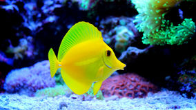 Zebrasoma Flavescens koloru żółtego blaszecznica Obraz Royalty Free