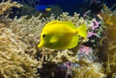Zebrasoma flavescens. Photo of fish Zebrasoma flavescens Royalty Free Stock Photo