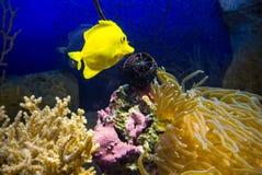 Zebrasoma flavescens. Photo of fish Zebrasoma flavescens Stock Photo