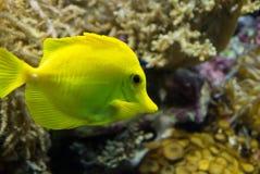 Zebrasoma flavescens. Photo of fish Zebrasoma flavescens Royalty Free Stock Image