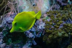 Zebrasoma flavescens. Photo of fish Zebrasoma flavescens Stock Image