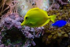 Zebrasoma flavescens. Photo of fish Zebrasoma flavescens Stock Images