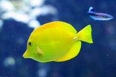 Zebrasoma Flavescens yellow tang in the aquarium Stock Image