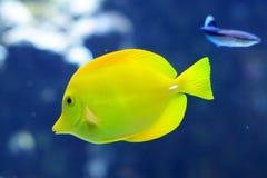 Zebrasoma Flavescens yellow tang in the aquarium Stock Image