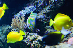 Zebrasoma Flavescens yellow tang in the aquarium Royalty Free Stock Image