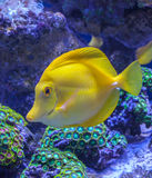 Zebrasoma Flavescens yellow tang Stock Image