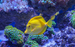 Zebrasoma Flavescens yellow tang. Yellow tang Zebrasoma flavescens saltwater aquarium fish Royalty Free Stock Photos