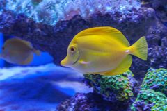 Zebrasoma Flavescens yellow tang Royalty Free Stock Photography