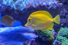 Zebrasoma Flavescens yellow tang. Yellow tang Zebrasoma flavescens saltwater aquarium fish Royalty Free Stock Photography