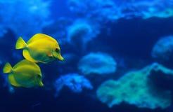 Zebrasoma giallo del pesce Fotografie Stock
