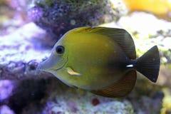 Zebrasoma scopas. Fish close up Royalty Free Stock Images