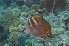 Zebrasoma veliferum Stock Images