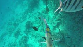 Zebrasoma veliferum i Abudefduf pływania zbliżamy koral zbiory wideo