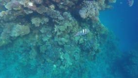 Zebrasoma veliferum i Abudefduf pływania zbliżamy koral zbiory