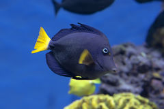 Zebrasoma xanthurum closeup near coral reefs in the blue aquarium Royalty Free Stock Photos