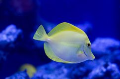 Zebrasoma, yellow surgeonfish. Bright coral reef fish in salt water. Zebrasoma, yellow surgeonfish. Bright coral reef fish in salt water aquarium royalty free stock image