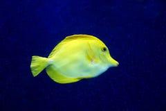 Zebrasoma yellow tang fish in aquarium Stock Image