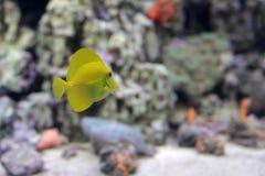 Zebrasoma yellow tang fish Stock Photos