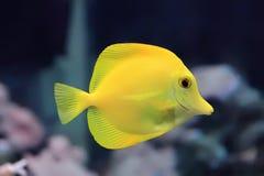 Zebrasoma yellow tang fish stock image