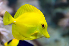 Zebrasoma yellow tang fish Stock Images