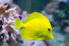 Zebrasoma yellow tang fish Stock Image